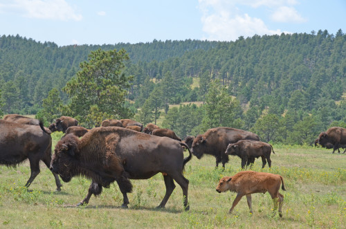 Buffalo are commonplace at Custer State Park (Roberta Sotonoff)