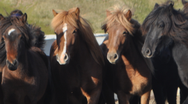 Icelandic horses have long manes and thick coats.