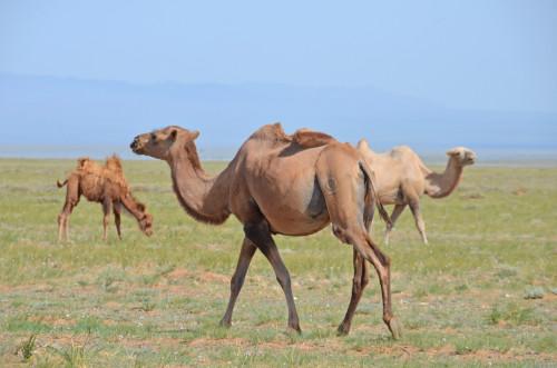 Gobi Desert Camels (Roberta Sotonoff)