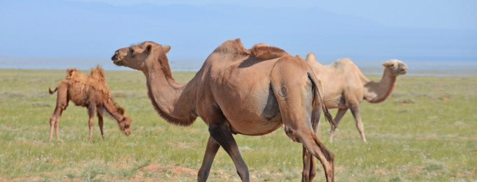 GobiDesert-Camels